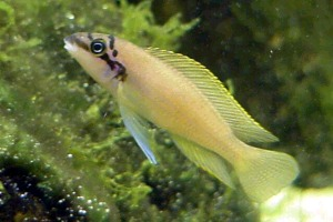 ... Small Fishes, Brichards chalinochromis (Chalinochromis brichardi