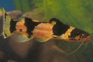 Image result for south american bumblebee catfish